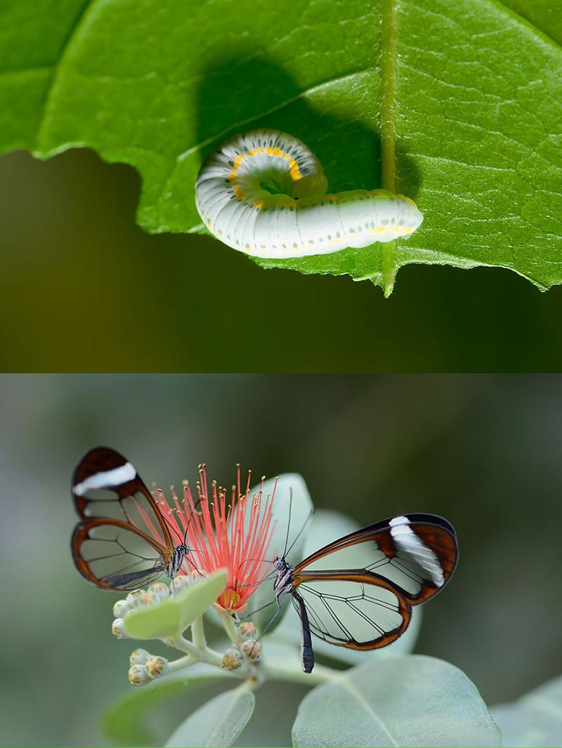 Бабочка Ио (Automeris io)