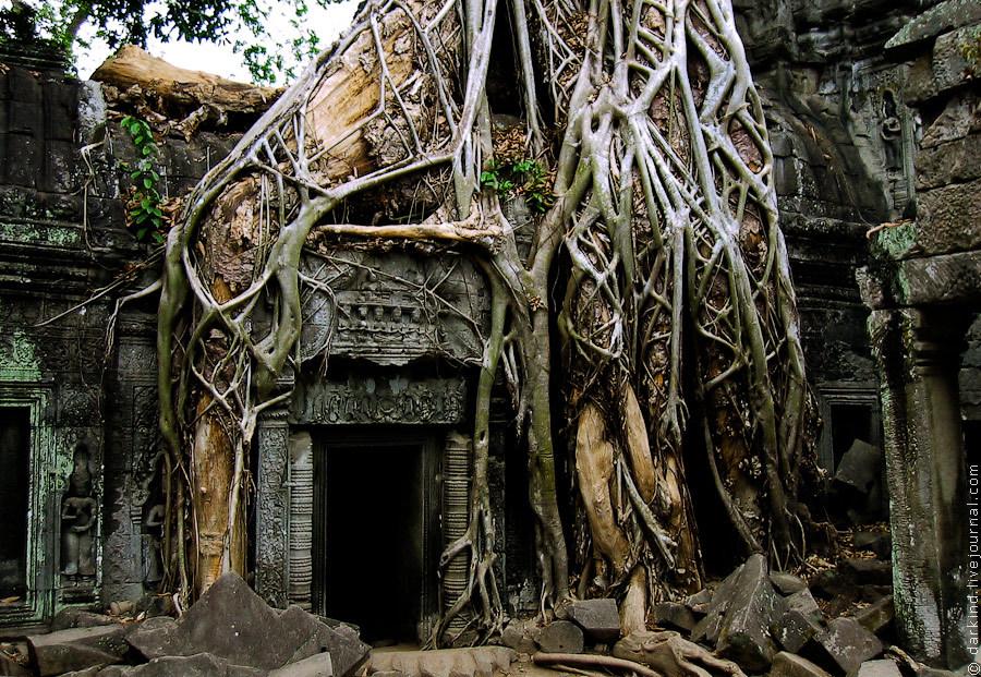 Помимо Тетрамелии вековые стены храма покрывают многочисленные фикусы (Ficus benghalensis или Ficus
