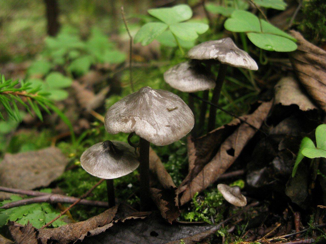 Тефроцибе вонючая (Tephrocybe rancida). Автор фото: Станислав Кривошеев