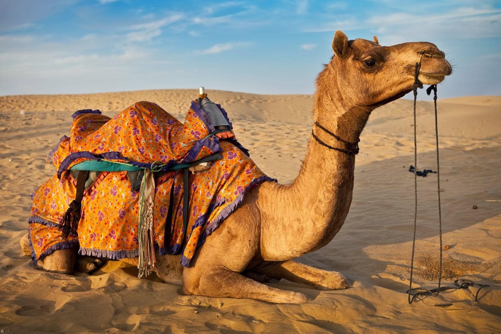 Сенсационное открытие ученых: верблюды иламы помогут одолеть рак иболезнь Альцгеймера