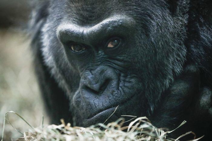 ВАмерике в60 лет погибла первая, родившаяся взоопарке горилла