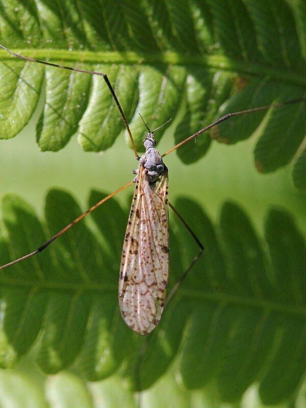 Комар-долгоножка (лат. Tipula) - крупный комар с длинными ногами, без хоботка и с пёстрыми крыльями, в народе почему-то называемый малярийным комаром или балериной