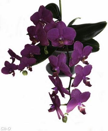 Фаленопсис. Домашняя орхидея