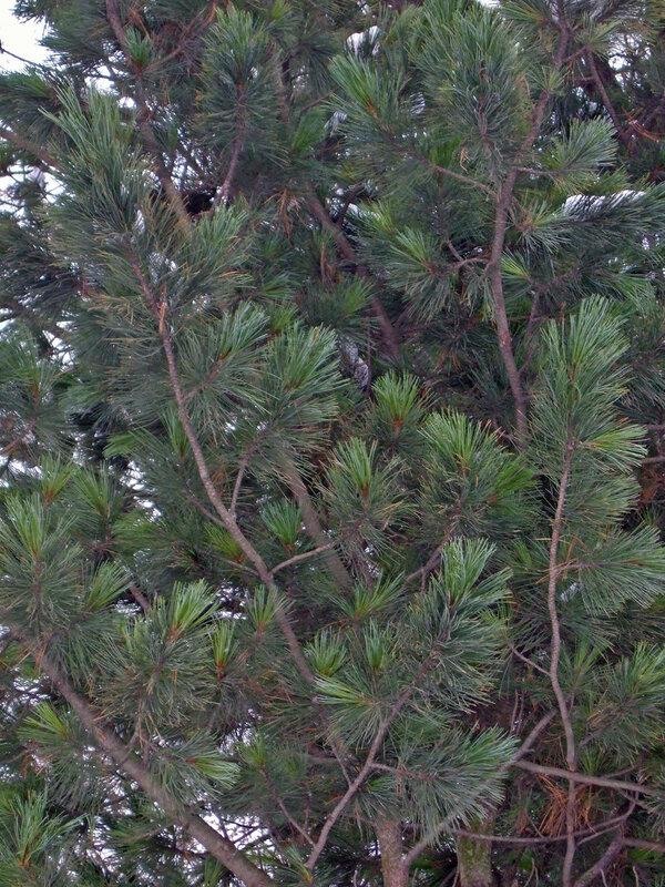 сосна сибирская кедровая