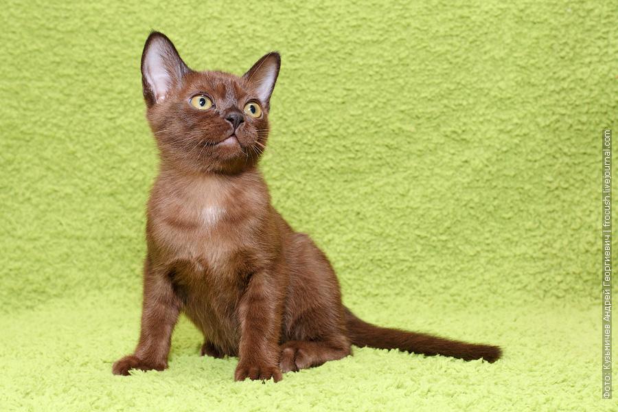 продажа котят питомник москва