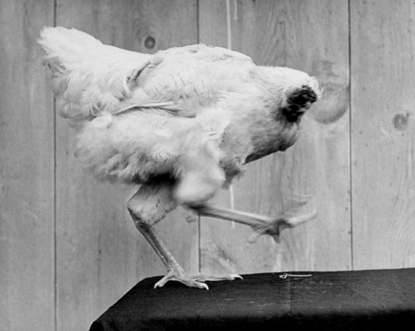 Безголовый цыплёнок Майк