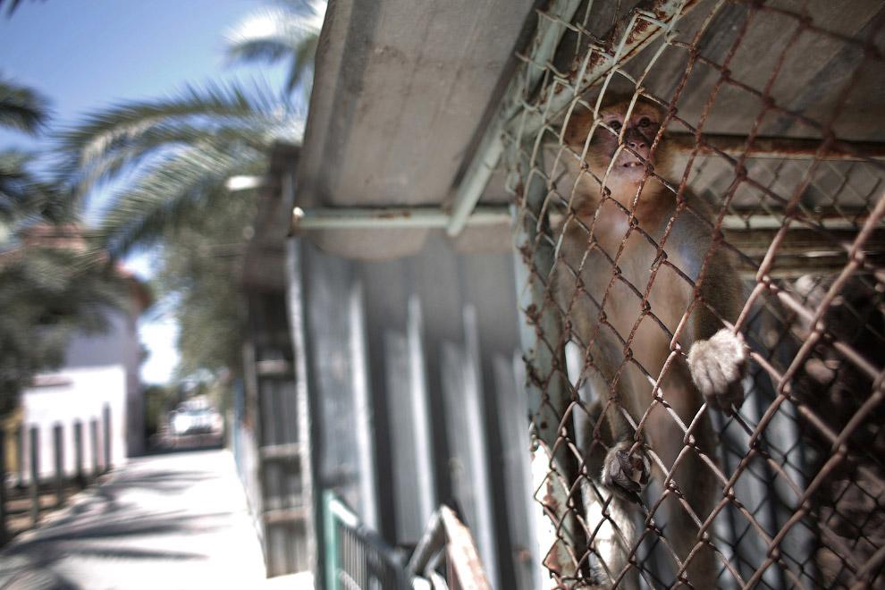 5. Сотрудник благотворительной организации «Четыре Лапы» стреляет в обезьяну дротиком с транкви