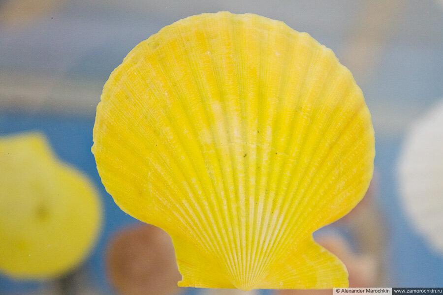 Раковина моллюска жёлтого цвета в музее ракушек Корфу