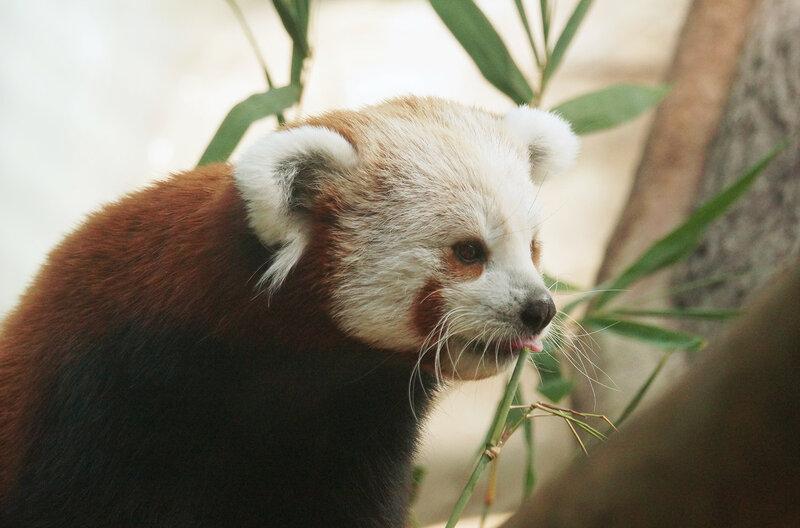 Красная панда.jpg