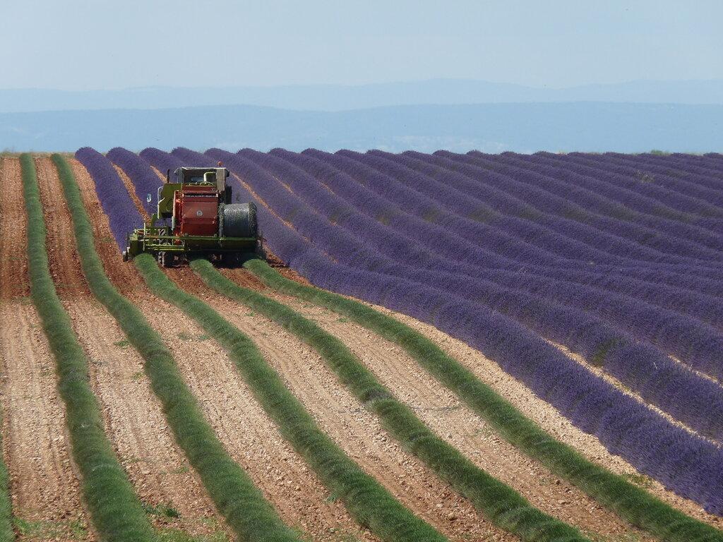 Сбор урожая лаванды в Провансе