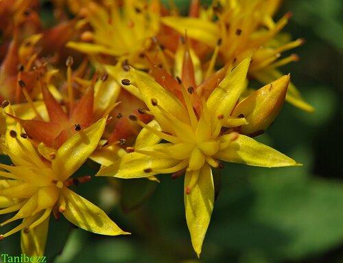 Очиток (живучник) камчатский / Sedum (aizopsis) kamtschaticum