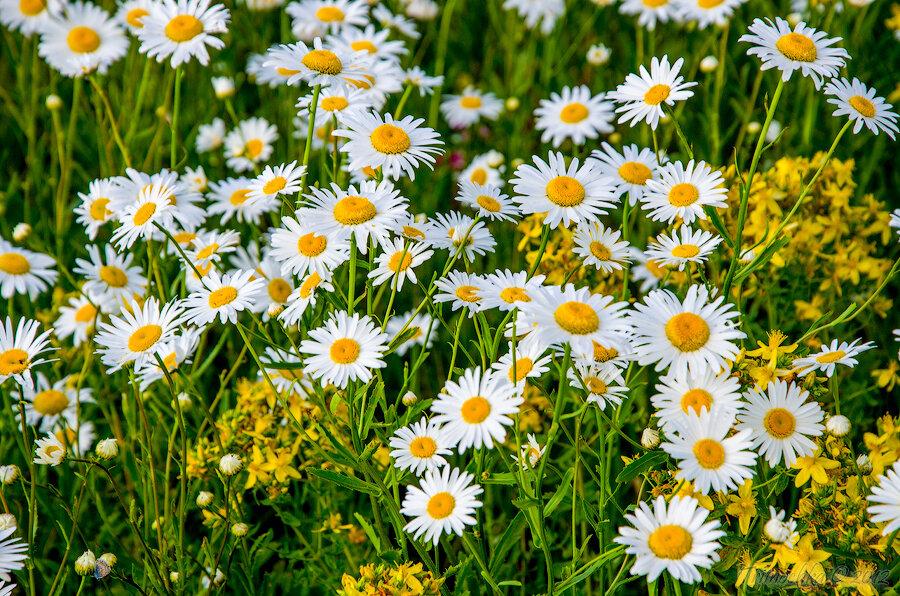 Полевой цветочек – милая ромашка