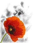 Poppies (3).jpg
