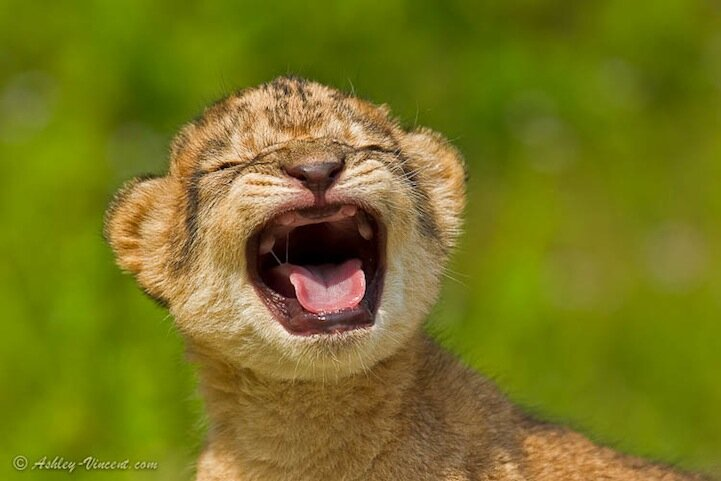 Roaring Practice - African Lion Cub (female), Khao Kheow Open Zoo, Chonburi, Thailand - KKC 025
