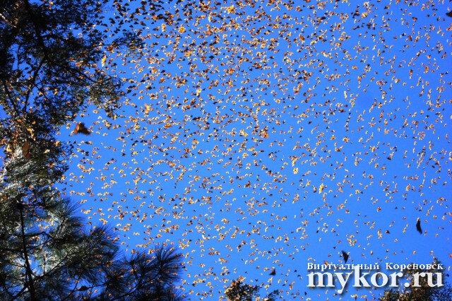 Миграция бабочек-монархов фото