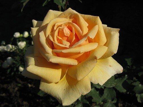 Чайная роза прекрасная открытка поздравление картинка