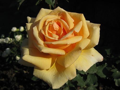 Чайная роза прекрасная