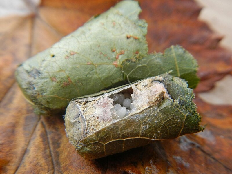 Кладка яиц неизвестного насекомого DSCN4693.JPG