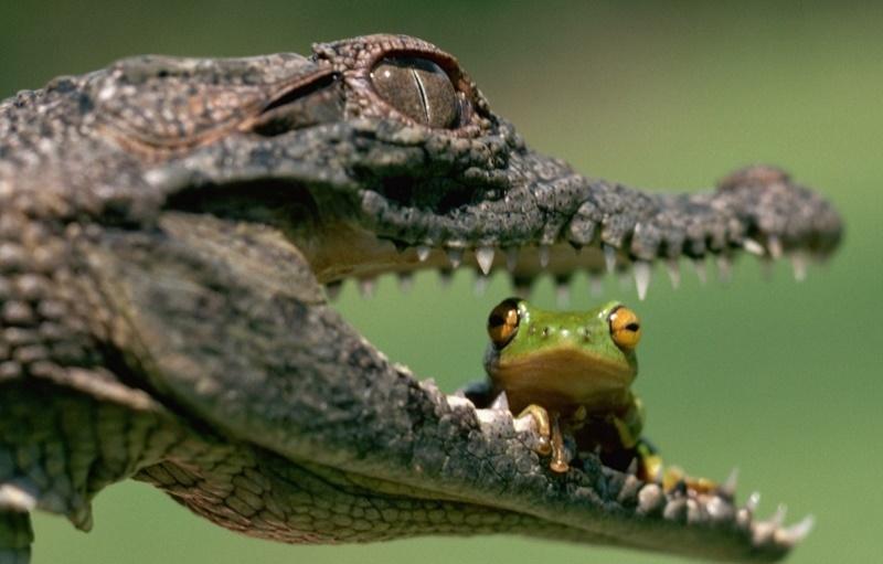 Сбежавший крокодил в Екатеринбурге прогуливался по набережной и скрылся в реке
