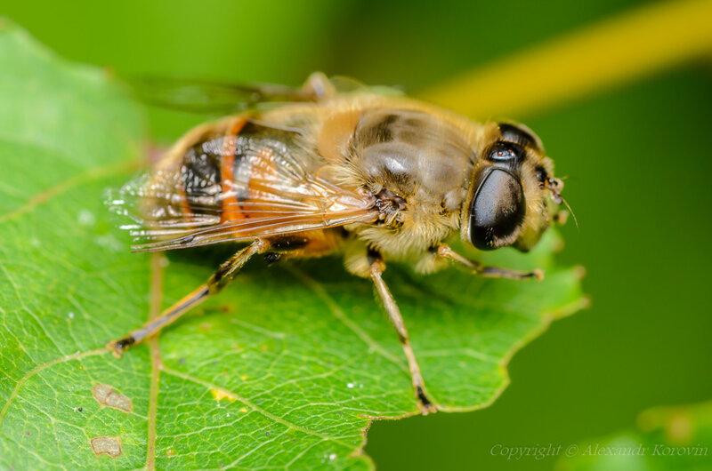 Пчеловидка цепкая