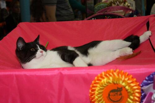 """Международная выставка кошек """"Удивительные кошки"""", 5-6 октября 2013, г. Сургут, ХМАО 0_ddb22_cad5a40a_L"""
