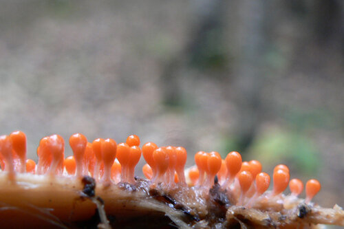 грибы оранжевые штучки