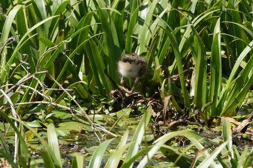 Чибис (Vanellus vanellus) Автор: Привалова Марина