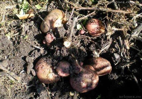 Вот так выглядит картофель у срезанный стебля.