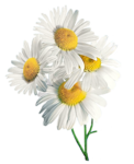 camomile (3).png