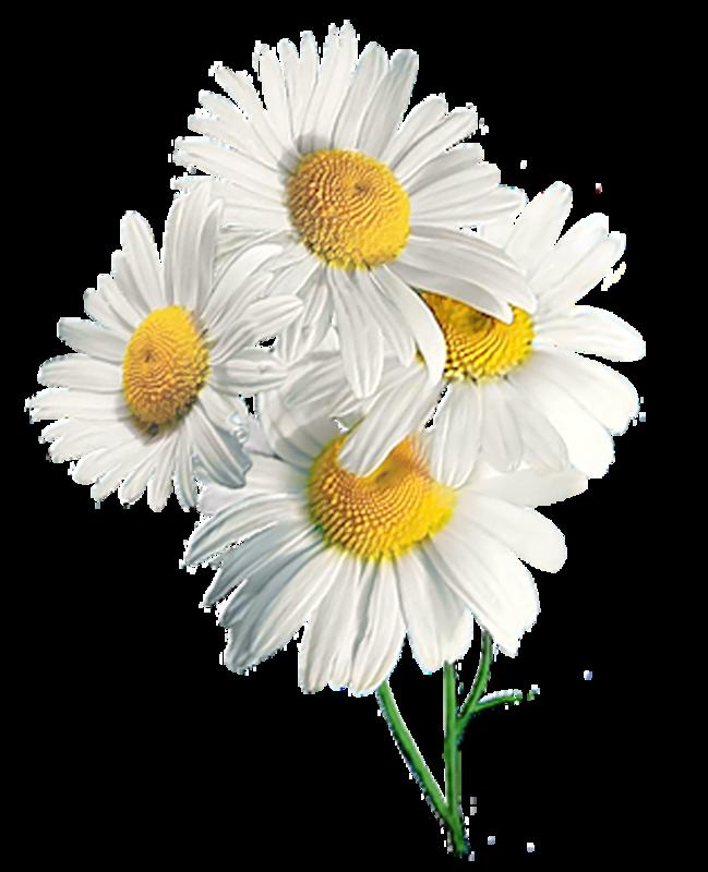 Цветов москва, букет ромашек на белом фоне