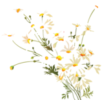 camomile (8).png