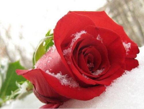 роза на снегу