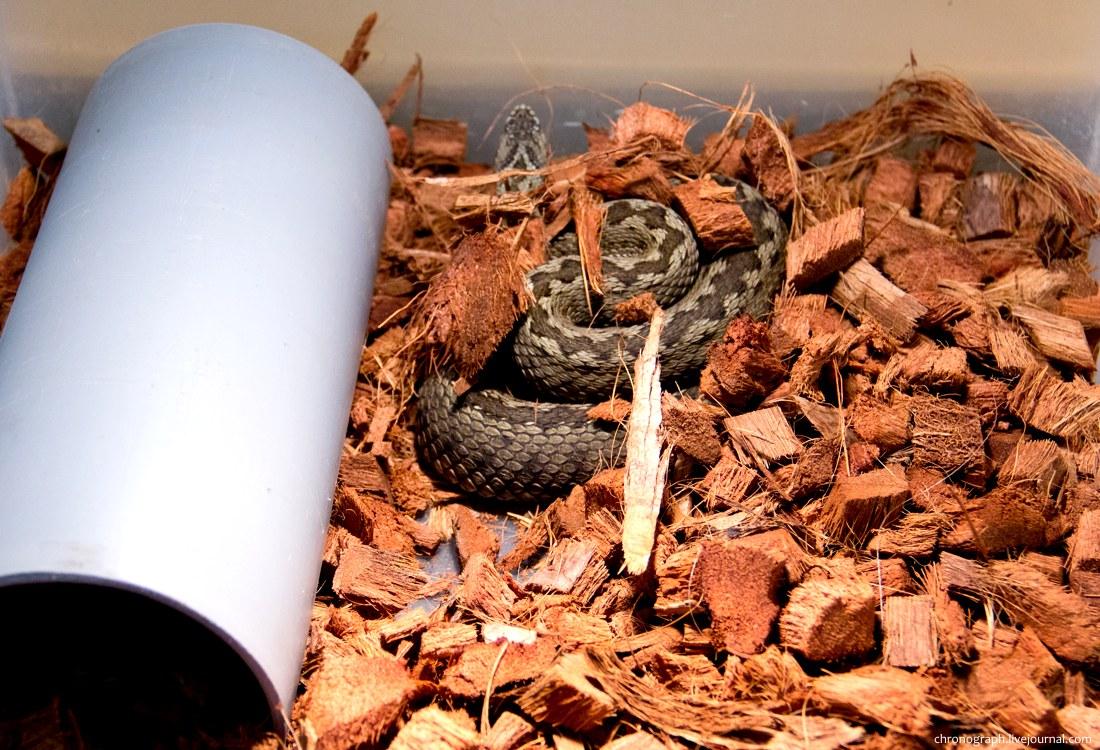 Ядовитые змеи самарской области