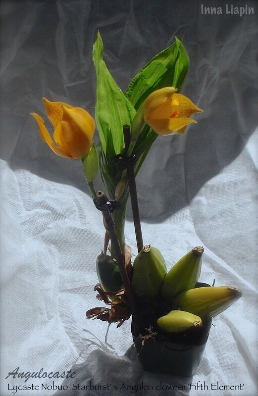 Angulocaste (Lycaste Nobuo 'Starburst' x Anguloa clowesii 'Fifth Element')