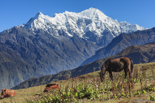 Placid horses on himalayan slopes in Nepal