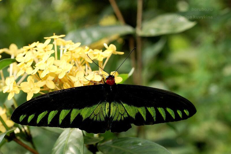 Трогоноптера (птицекрыл) Брука (Trogonoptera brookiana), самец