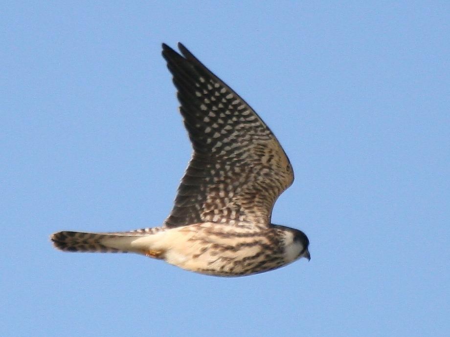 Обыкновенный чеглок (Falco subbuteo)