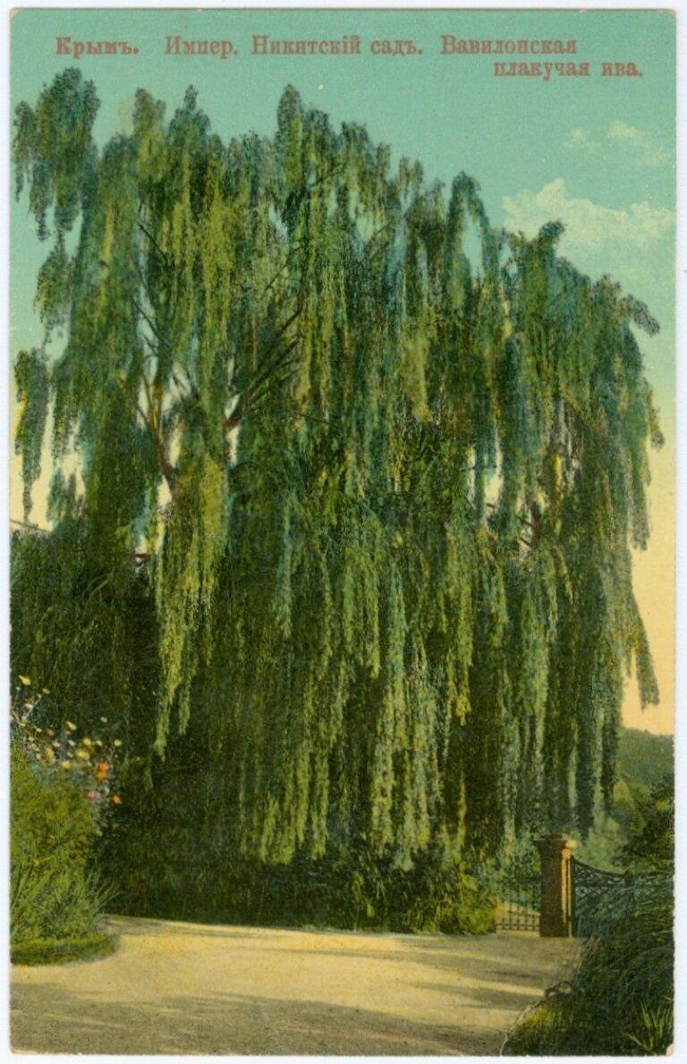 Императорский Никитский сад. Вавилонская плакучая ива