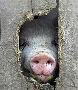 Свинья визжит и деньги получает, или Ура! Ура! зарплату привезли! 0_9e426_c72aa812_M