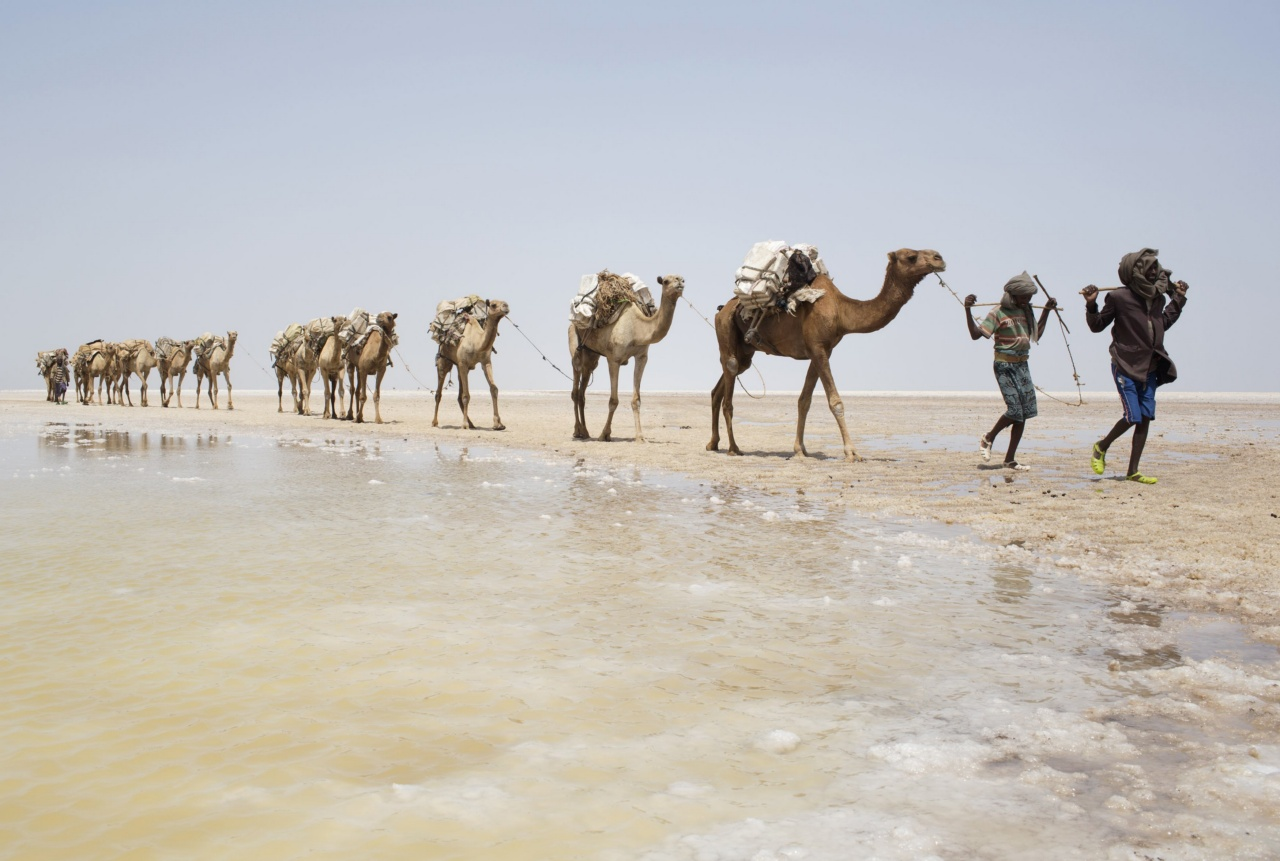 A camel caravan carrying slabs of salt travels away from the  Danakil Depression, northern Ethiopia