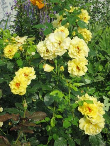Роза лихткенигин лючия
