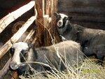 овцы-башуры