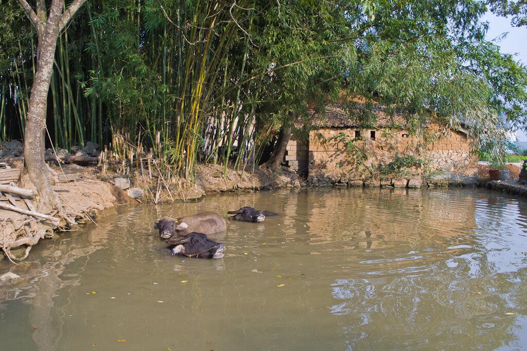 Водяные буйволы в Китае. Прогулки на велосипеде и на мопеде вокруг Яншо (Yangshuo)