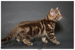 щоколадная мраморная британская короткошерстная кошка
