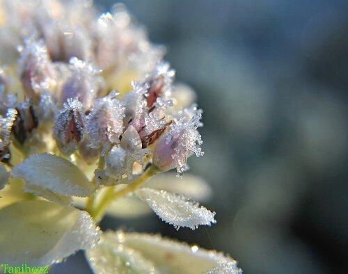 """Очиток (седум) Белорозовый """"Морозное Утро"""" / Sedum Alboroseum """"Frosty Morn"""""""