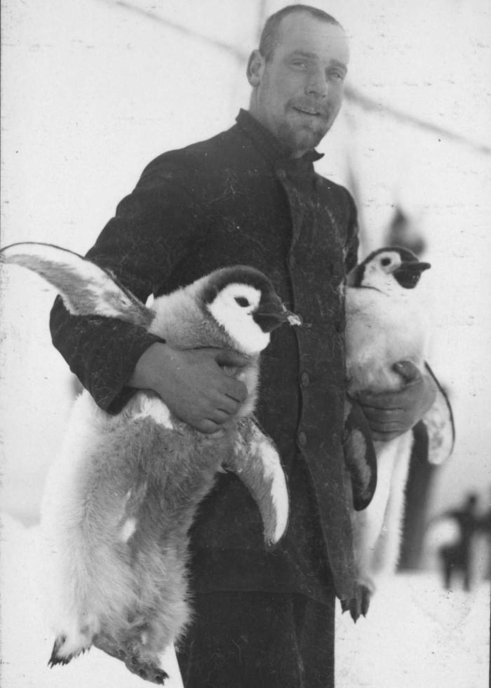 16. Штурман Хьюберт Хадсон с птенцами императорских пингвинов.