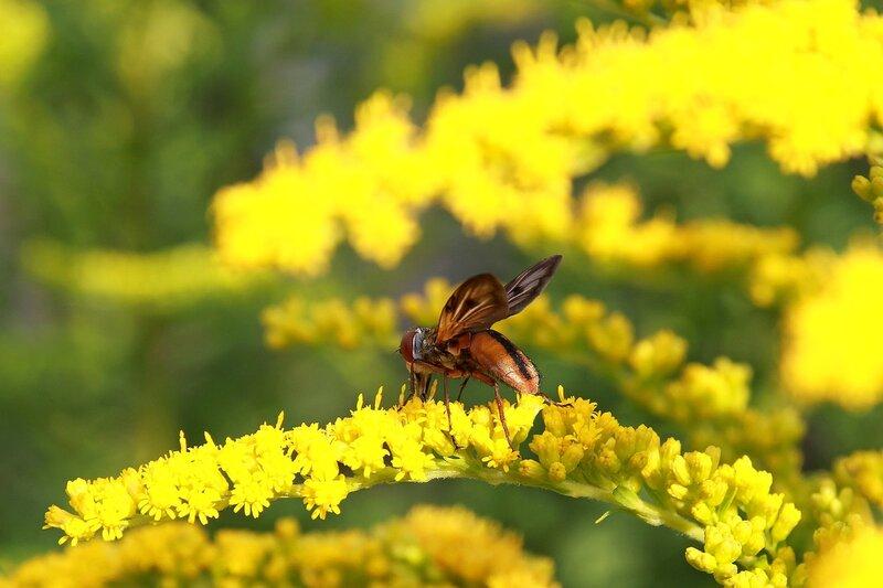 Муха журчалка (?) на жёлтом цветке пьет нектар 7017