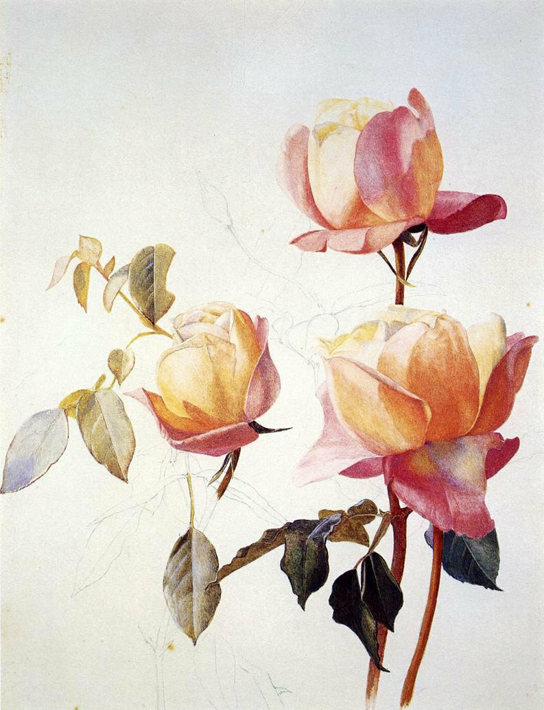 Роза китайская рисунок