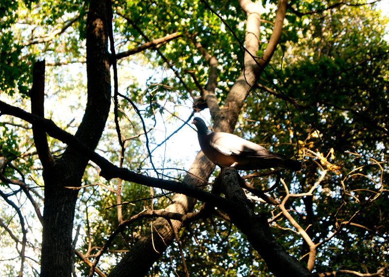 Крымский голубь
