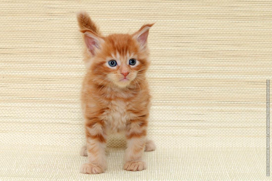 котенок Мейн-кун красный фотография